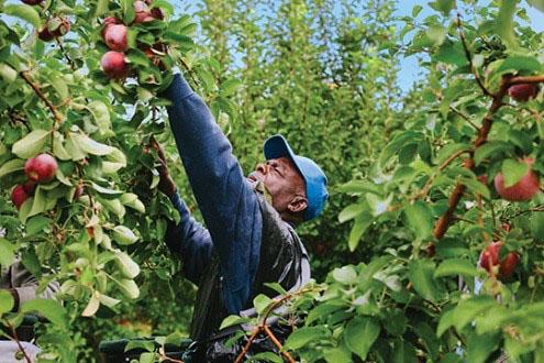 hand picking apple