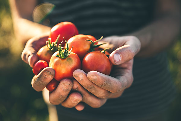 Tomatoes in man hands